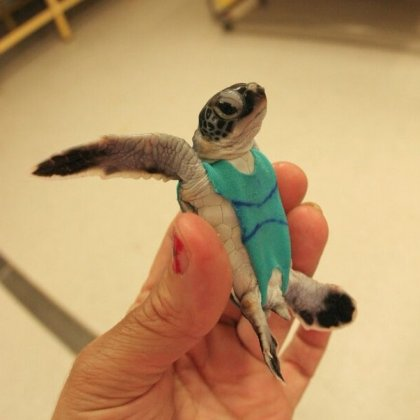 Researchers are putting baby sea turtles in swimsuits for science (and cuteness)