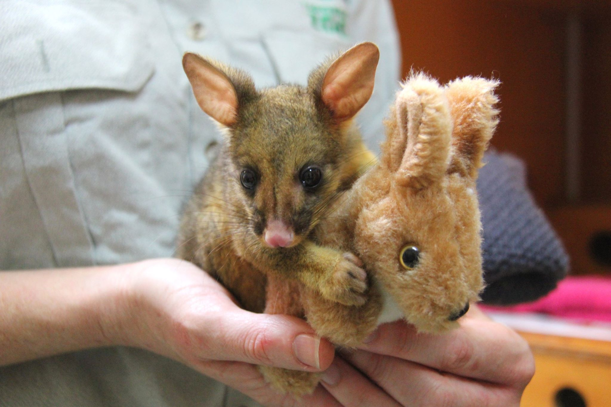 A baby possum hugging a toy kangaroo is everything you need for Thursday