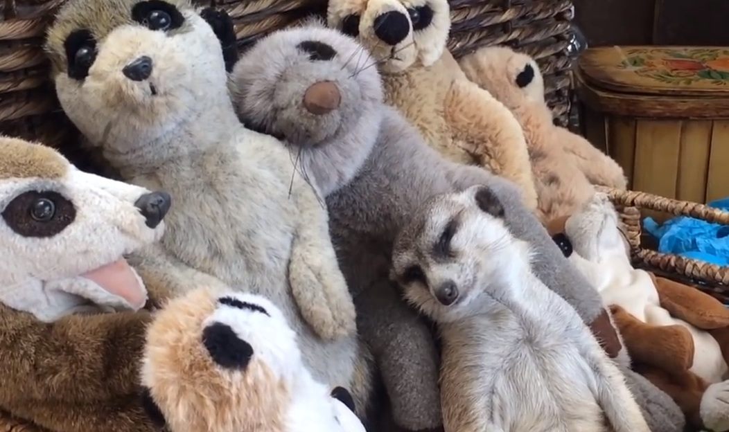Nothing to see here: Just a sleepy meerkat in a basket full of stuffed animal meerkats