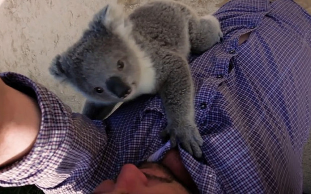 This koala surprised a cameraman with a hug, everything is cute forever
