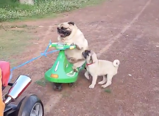 Happy Monday! Here's a pug on a mini bike