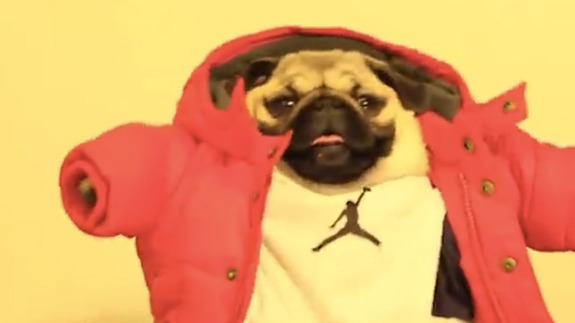 And finally, there's this pug dancing to 'Hotline Bling'