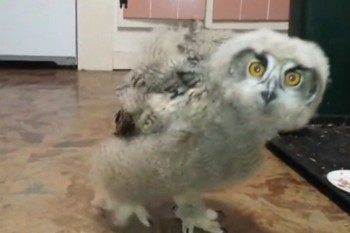 Just let this owl bob and weave its way into your heart