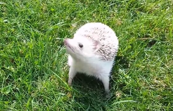 This hedgehog going outside for the first time = All of us on Mondays