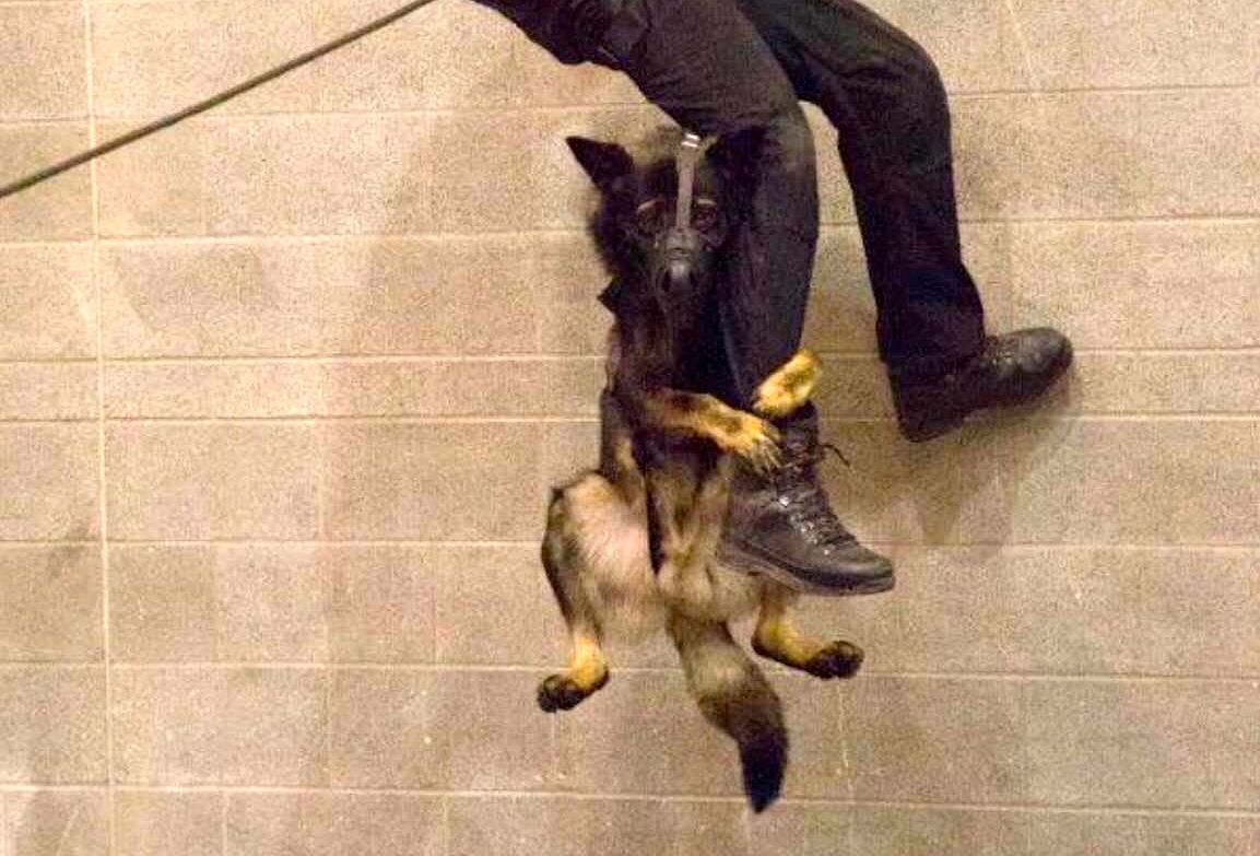 This rappelling police dog is charming us silly