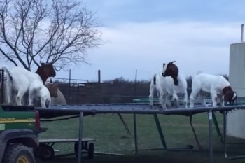 These goats jumping on a trampoline are living their best life