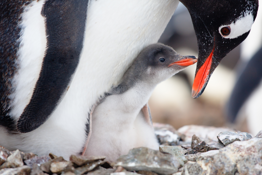 The adorable way Australia is protecting its penguins