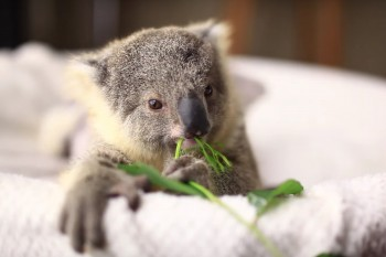 Cuteness Break: Just a baby koala's first photo shoot