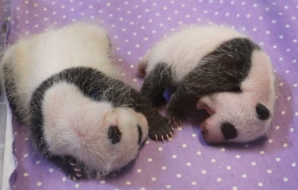 Happy one month to these adorable twin panda cubs!