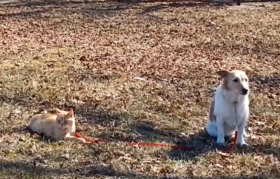 This cat is totally the leash-boss of the family dog