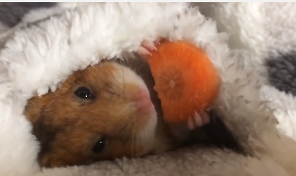 A tiny hamster tucks himself into bed with a carrot snack