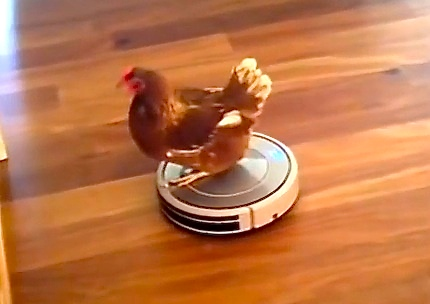 Just a chicken enjoying a casual ride on a Roomba