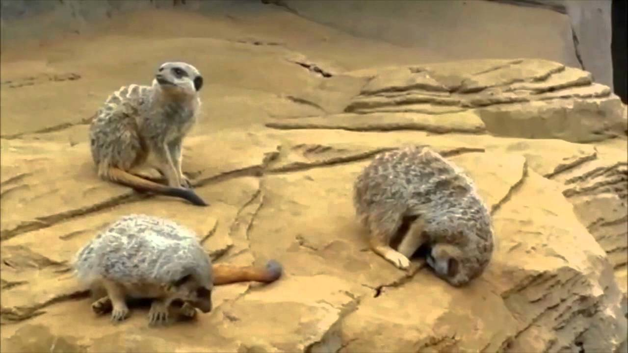 Sleepy meerkat is all of us after Thanksgiving dinner