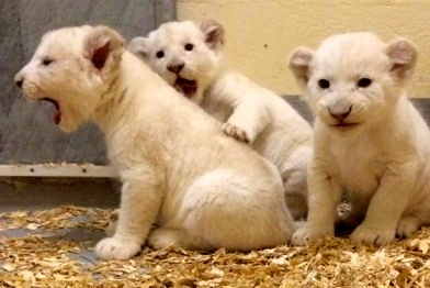 These white lion cubs are everything that is cute in this world