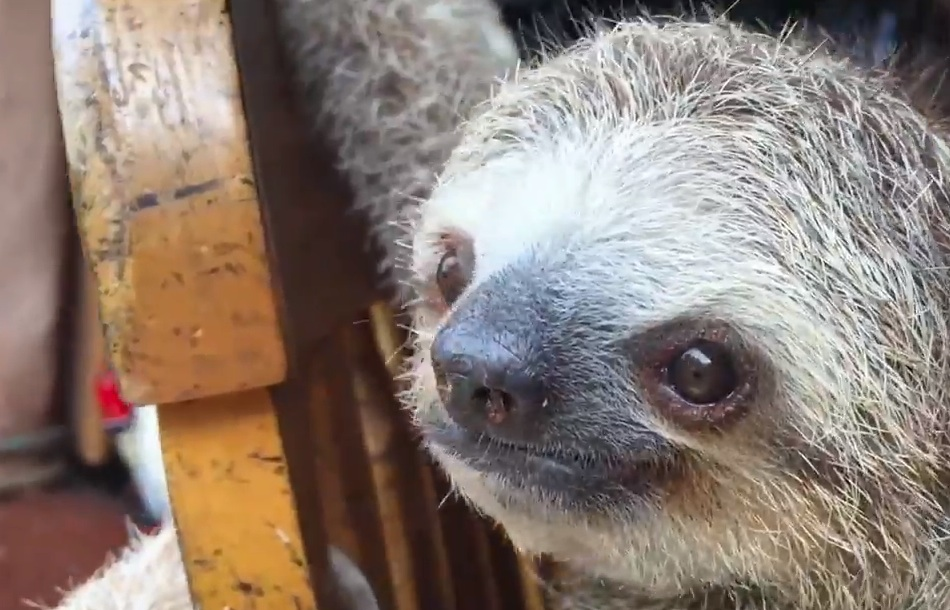 Baby sloths learning to climb on a rocking chair set new bar for cuteness