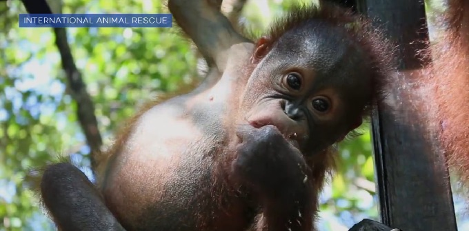 There is a preschool for orangutans, and it is just as adorable as it sounds