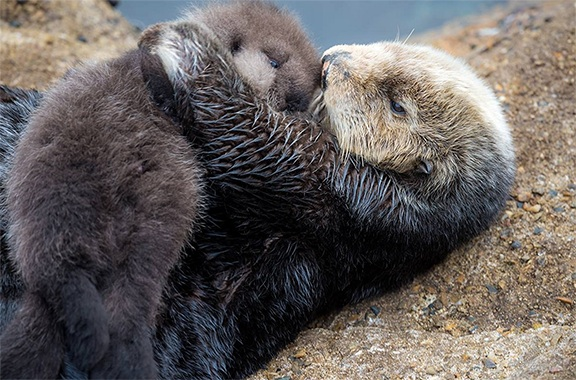 A wild sea otter chose to give birth at an aquarium and everyone's hearts are melting