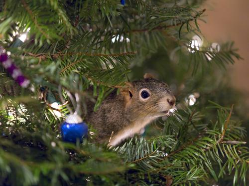 Couple rescues injured squirrel, invites him to live in their Christmas tree