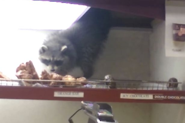 Donut Raccoon is already the Pizza Rat of 2016