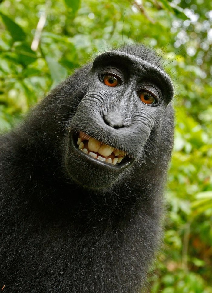 A court just ruled that Selfie Monkey can't own the copyright to his selfie