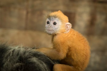 This too-cute-for-words silvered leaf monkey is the Columbus Zoo's newest bundle of joy