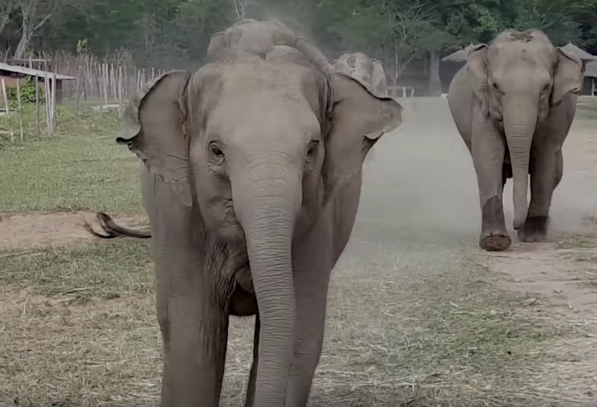 This baby elephant running to her human is too adorable to handle