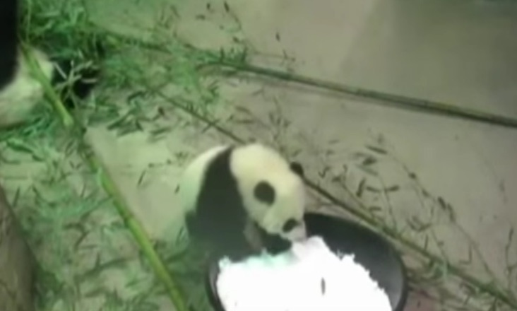 Meanwhile, this baby panda can't be bothered with the snow