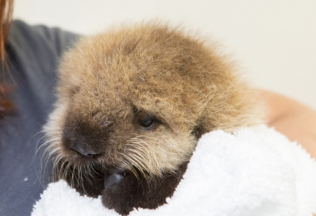 This baby otter was separated from her mother, but there's a happy ending