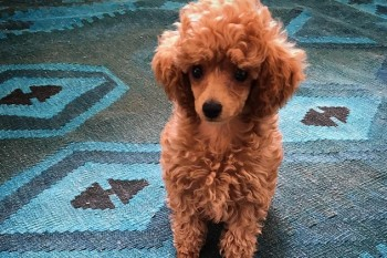 Our favorite author's new toy poodle dog is UNREAL