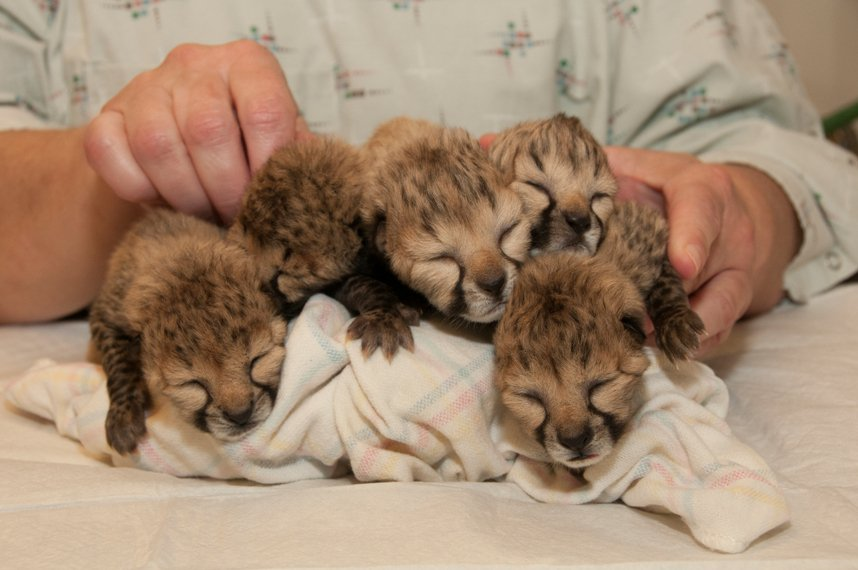 Five Cheetah Cubs Were Just Born At The Cincinnati Zoo And