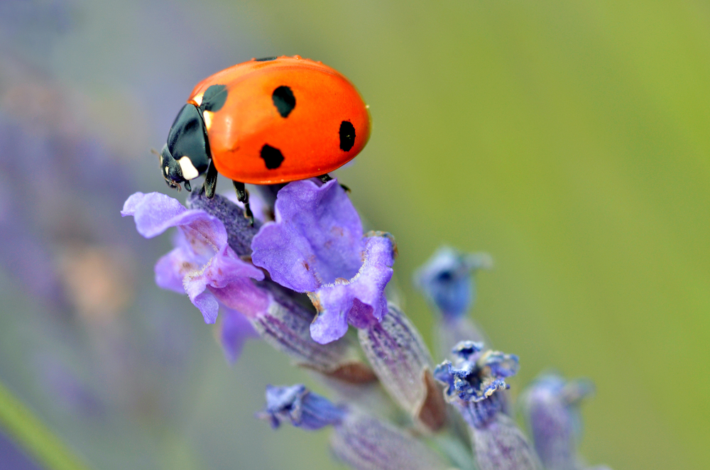 Ladybugs were actually named after a specific lady