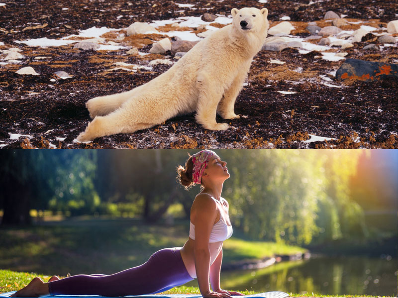 Here are some bears doing yoga because why not?