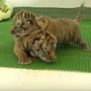 It's official: These tiger cubs learning how to walk are the cutest thing you'll see all week
