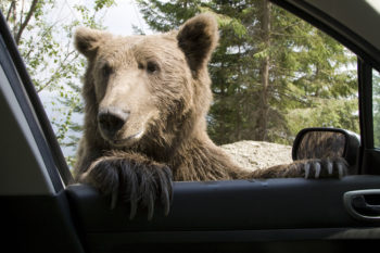Bear tries to break into cars, internet can't stop giggling