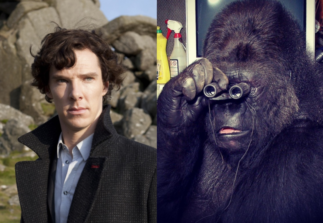 Koko the gorilla has a crush on Benedict Cumberbatch and we can relate