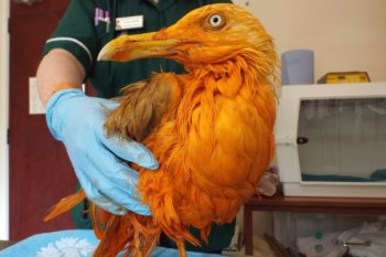 Today in WTF: This seagull turned orange because he fell in curry