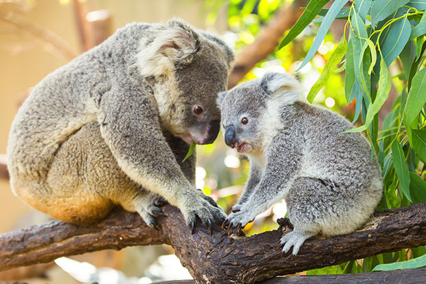 Even koalas are hooking up on Tinder now