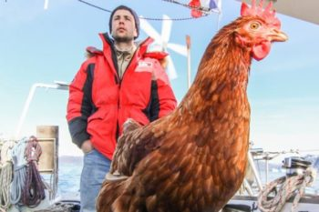There's a chicken currently sailing around the world and having a blast