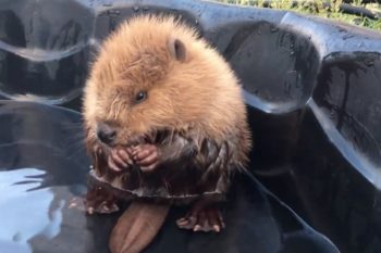 Adorable baby beaver can't control his own tail, wins internet