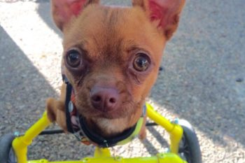 This adorable Chihuahua was born with only two legs, but prosthetic wheels have given her new life