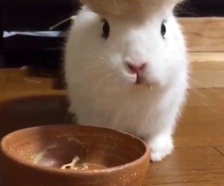 This bunny has Donald Trump hair and it is EVERYTHING
