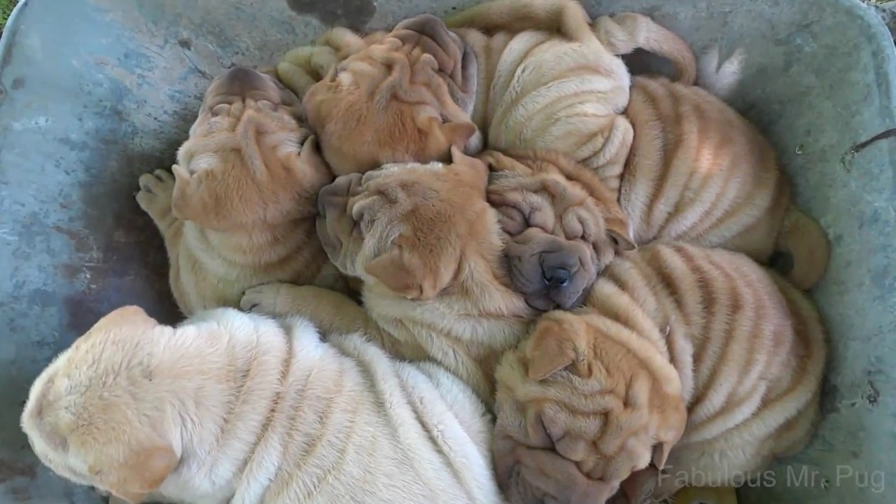 And here we have wheelbarrow full of shar pei puppies taking an epic ride