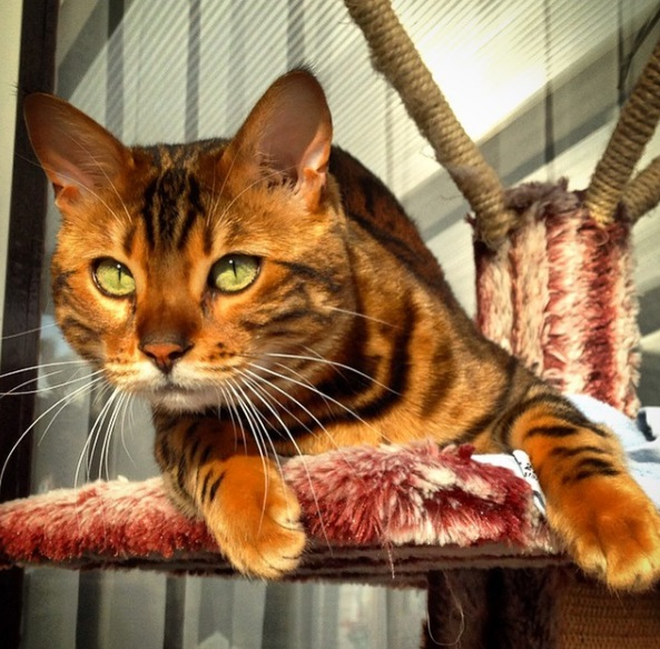 This stunning striped Bengal cat is ultimate #petgoals
