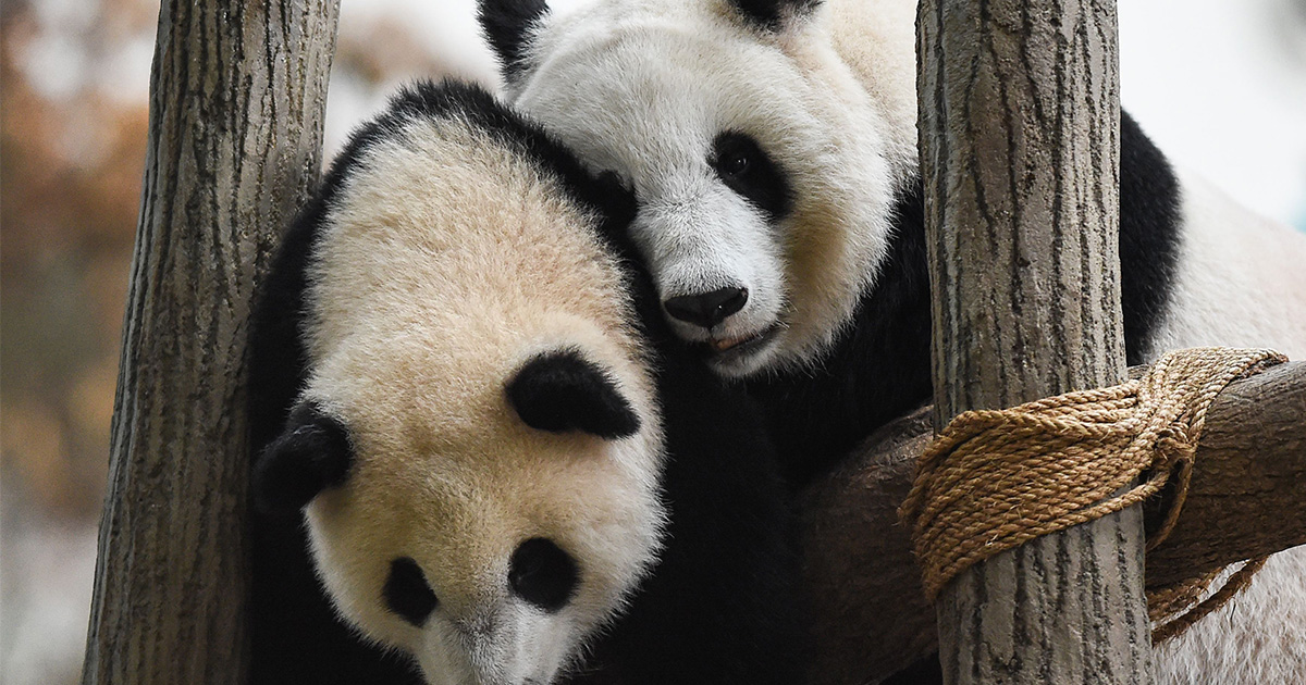 There's some amazing news about giant pandas that's totally worth celebrating