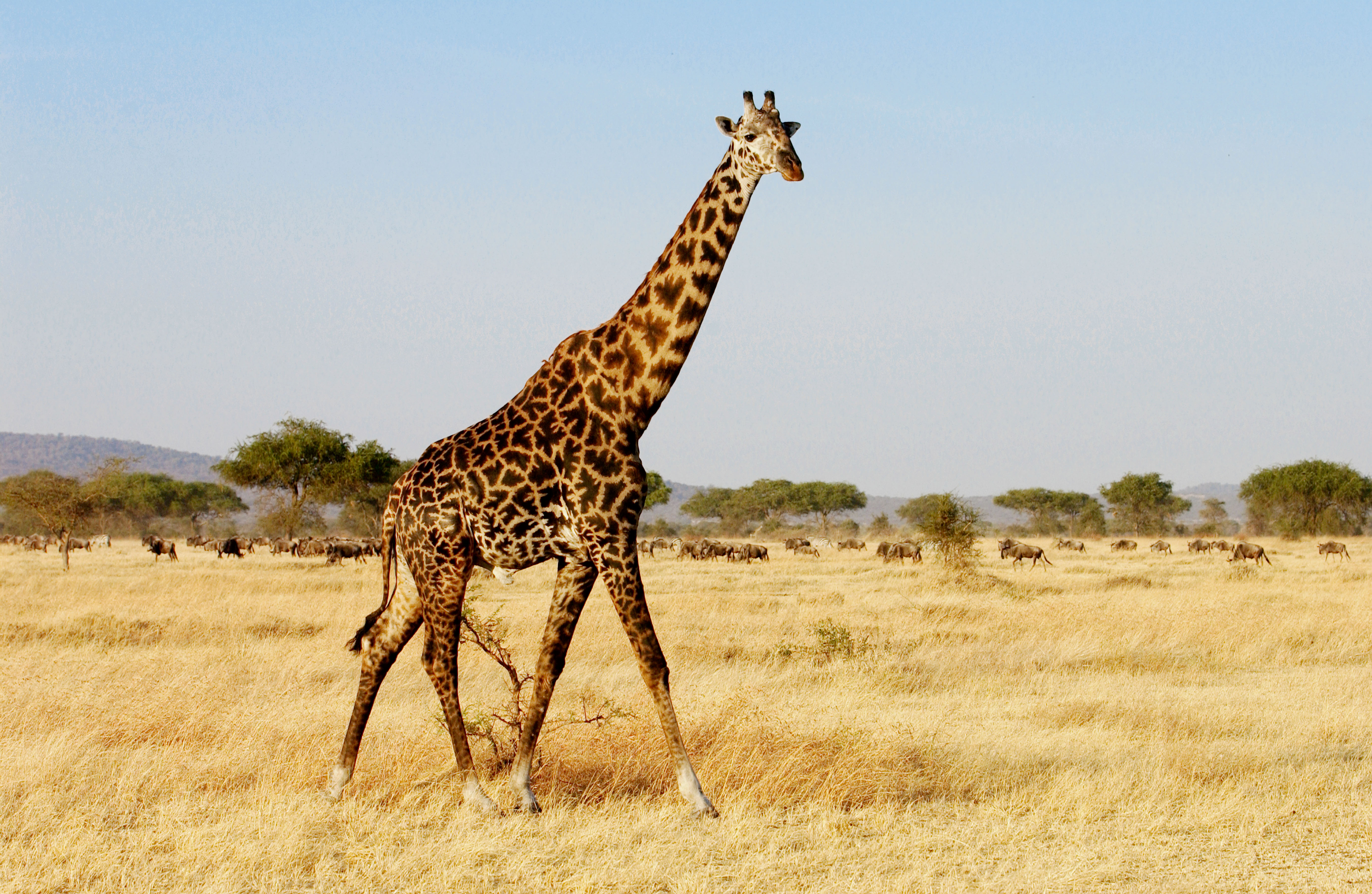 We just found out some surprising news about Giraffes, and they're way more diverse than we thought