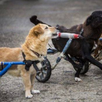 This animal hospital gives wheelchairs to every dog who needs one and our hearts are so happy right now