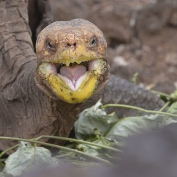 This tortoise is single-handedly saving his species by doin' it