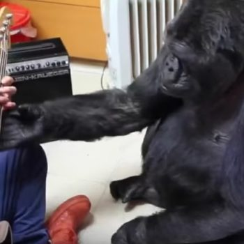 OMG Koko the Gorilla just learned how to play bass guitar from Red Hot Chili Peppers' Flea