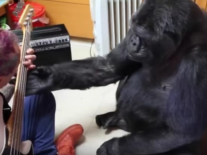 """koko gorilla video dating Even koko the gorilla has commented on robin williams' death — telling her trainers that she is """"crying"""" over the tragic news the famous primate, known."""