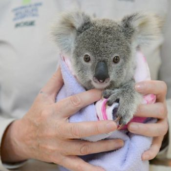 Meet Shayne, the baby koala whose story is hitting us right in the FEELS